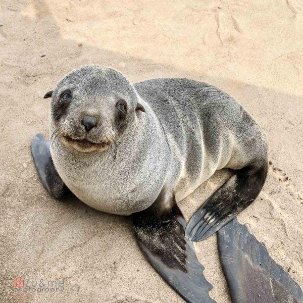 Cape Cross - foki uchatki - pocieszny słodziak