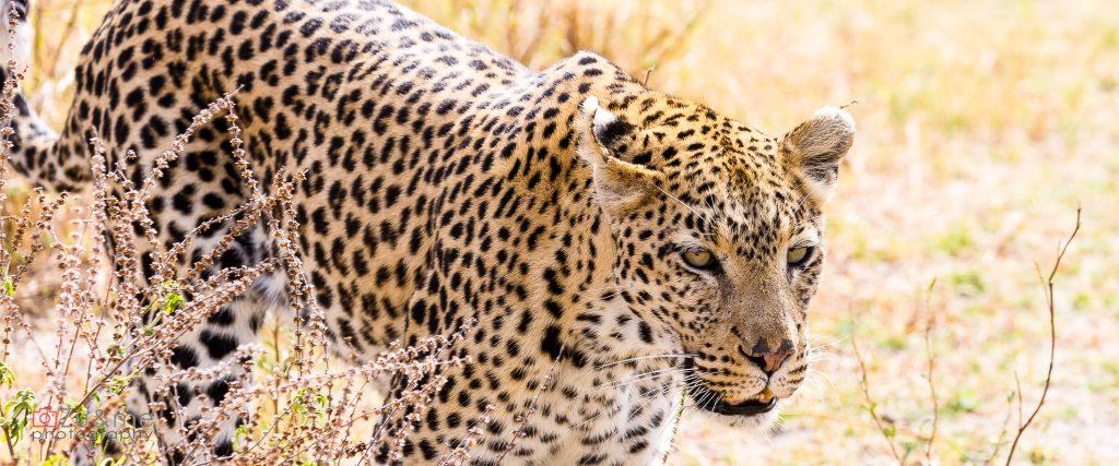 Skradający się do nas leopard