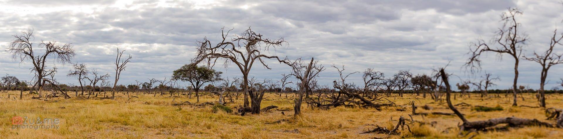 Moremi - martwy las - panorama